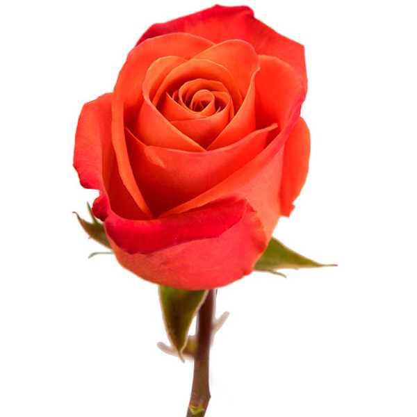 Импортная роза ORANGE CRUSH